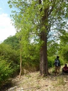 Tegida ditandai dengan dua pohon dadap (aj'u kare). Tegida Ga Lena (wini Ga), Namata, Seba